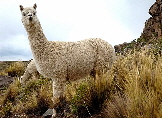 Alpaca to Yak - fibre animals other than sheep