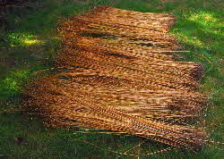 newly harvested flax stems laid out for dew-retting on grass lawn