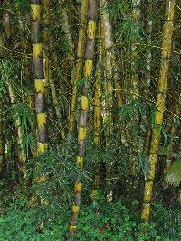 Giant Bamboo in Ecuador (after Scotteaux)