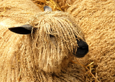 Wensleydale long wool sheep