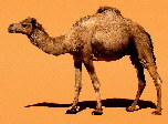 Dromedary camels of north Africa | Wild Fibres natural fibres