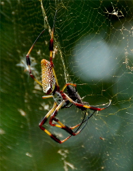 golden orb spider on web | Wild Fibres natural fibres
