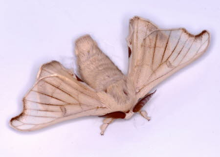 Male Mulberry silkmoth