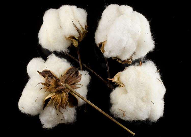 Buy Cotton Bolls for teaching & as 2nd wedding anniversary gift